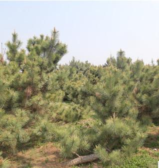 厂家直销 常年供应绿化黑松树造型松树四季常青油松黑松 量大价优