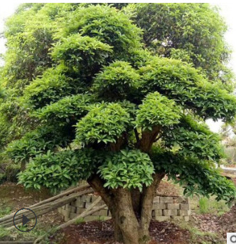 批发园林绿化工程苗木 造型椤木石楠 可移植苗风景树 常绿乔木