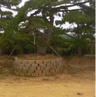 山东地区供应5-45公分造型黑松