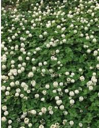 批发绿化草坪草种白三叶种车轴草三叶草果园种植绿化景区量大优惠
