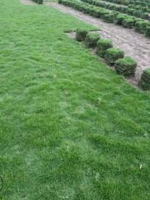 四川马尼拉草坪 台湾二号,耐旱耐寒耐践踏四季青草坪大量批发