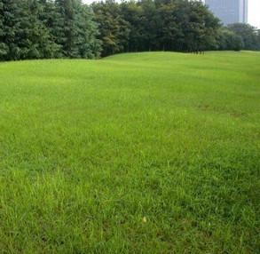 出售草坪【高羊茅】绿化苗木 量大优惠 园林绿化专用草坪