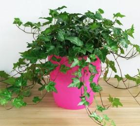 常春藤 工程绿化 色块毛球袋杯 沭阳基地直销一站式采购