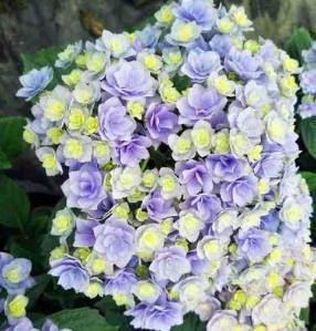 八仙花紫阳花卉绿植 永恒 八仙绣球花苗 盆栽重瓣耐寒 阳台庭院