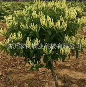 金银花新品种 15天不开花 北花一号金银花苗 包成活包技术 包回收