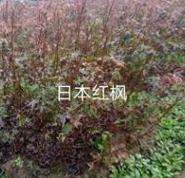 浙江日本红枫5介绍/特征/用途