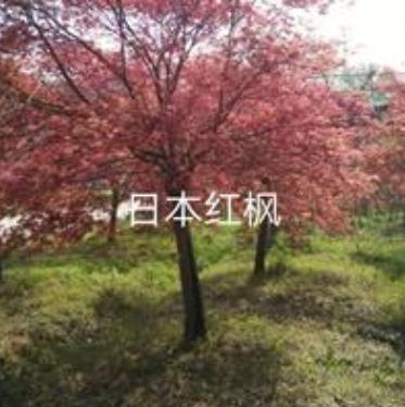 日本红枫图片/日本红枫报价