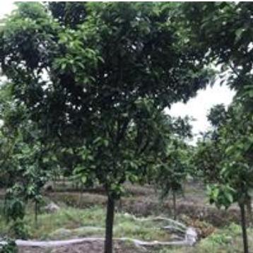 浙江香泡树/ 嵊州柚子树/10公分柚子树大量供应/香泡树价