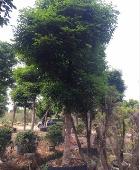 福建漳州 秋枫全冠秋枫 多种规格绿化工程苗木基地直销