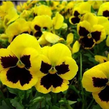 厂家供应各种草花绿化带装饰草花 三色堇 青州花卉观赏花角堇