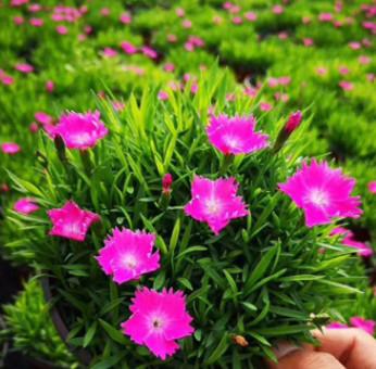 完美欧石竹 开花的草坪耐寒耐干旱耐踩踏 花海绿化宿根花卉欧石竹