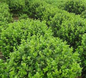 卫矛球基地直销 护坡绿化灌木 庭院绿篱植物 四季常青 卫矛树苗