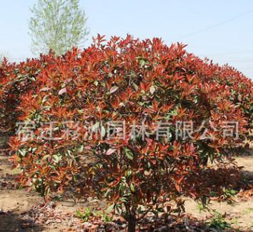高杆红叶石楠球批发绿化苗木庭院种植四季常青独杆红叶石楠树苗