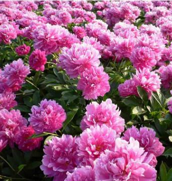基地直销观赏油用牡丹多色 新品种牡丹花保成活高产量花卉植物