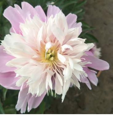 菏泽鲜花基地批发新品种观赏花卉芍药苗 带土球优质种子成活率高