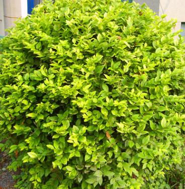 批发金森女贞球 工程园林庭院绿化不落叶小灌木 黄叶女贞球规格全