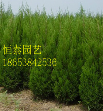 供应1米1.5米2米2.5米3米3.5米4米圆柏 圆柏价格 塔柏产地直销