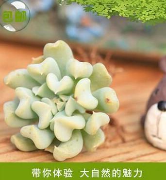 仙人多肉植物玉莲系列 多肉植物玉莲多肉盆栽植 厂家推荐