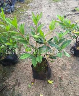 福建漳州巴西野牡丹紫色花地被苗色块苗工程绿化庭院美化小袋苗