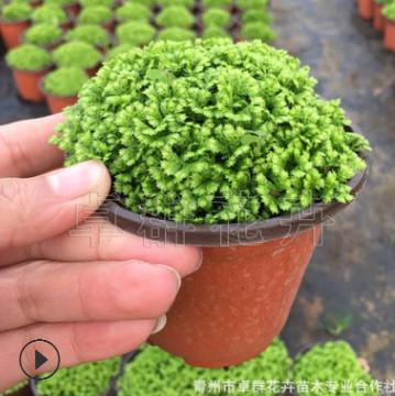 自家苗圃批发微景观蕨类盆栽绿地球 珊瑚蕨 净化空气 量大优惠