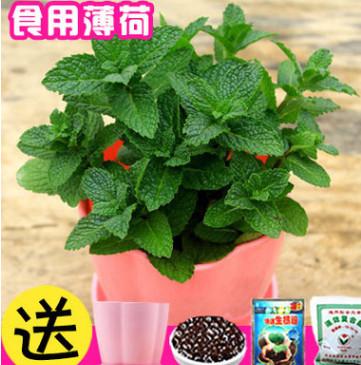 薄荷盆栽可食用 四季种易活开花不断室内蔬菜薄荷观花卉盆栽种子