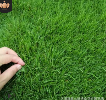 草坪种子四季长青免修剪马尼拉黑麦草庭院草皮草籽狗牙根护坡绿化