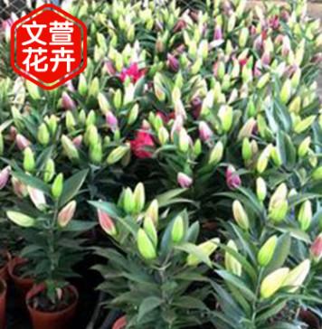 青州花卉基地直销盆栽百合 情人节母亲节切花植物 百合鲜花