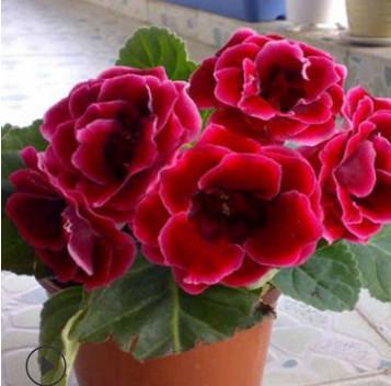 盆栽大岩桐 花坛花圃装饰 室内阳台养殖植物 青州花卉基地直销