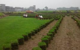 绿化工程草坪/马尼拉草皮/马尼拉暖季型草坪耐踩耐寒耐旱