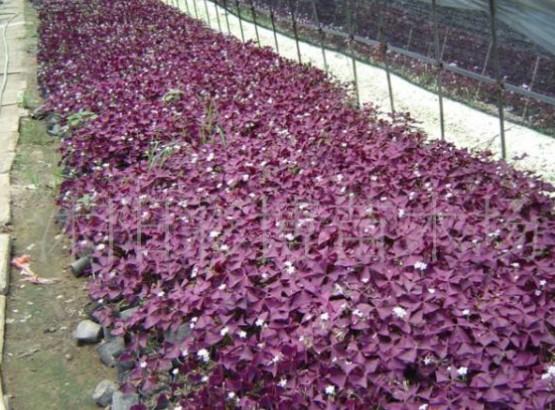 紫叶(红花)酢浆草