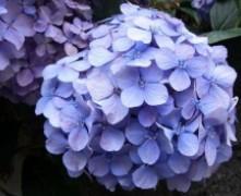 无尽夏 八仙花 绣球花