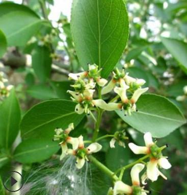 产地直销绿化苗木丝棉木品种保障 量大从优 3-20公分丝棉木