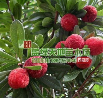 批发 果树 杨梅 东魁杨梅 嫁接杨梅 荸荠杨梅 包邮