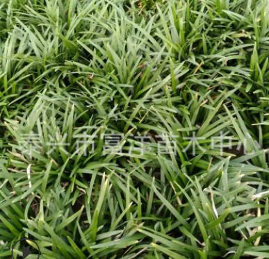 基地批发销售矮麦冬草坪 供应高品质矮麦冬草坪四季常青量大从优