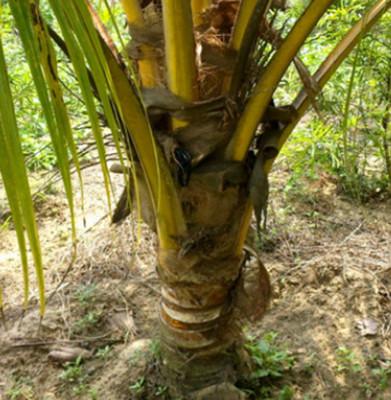 供应优质椰子苗圃 风景树苗 海南金椰成苗小苗 种下3年挂果