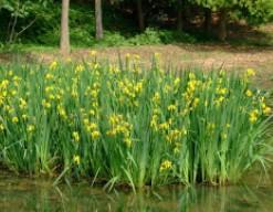 水生花卉黄菖蒲苗