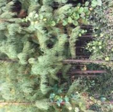 平平苗木基地出售落羽杉