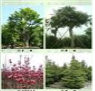 贵州六盘水绿化青枫批发、销售六盘水绿化四季红、六盘水绿化桢楠、六盘水绿化棒树
