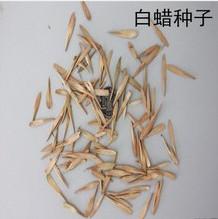 大叶白蜡种子
