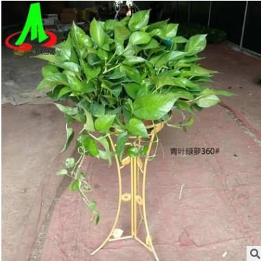 批发环保植物 室内绿植盆栽 吸收甲醛 绿色植物 带盆价 青叶绿萝