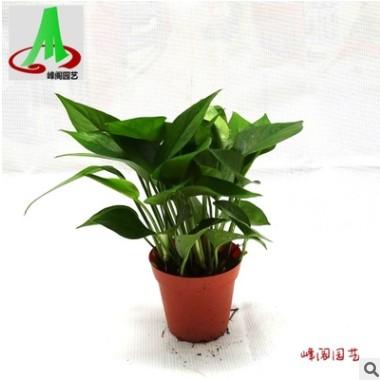 低价货源绿墙吸甲醛净化空气之王吊兰花卉盆栽盆景植物 青叶绿萝
