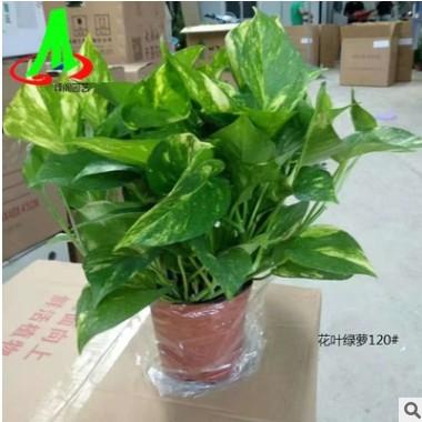 低价货源绿墙吸甲醛净化空气之王吊兰花卉盆栽盆景植物 花叶绿萝