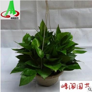 基地货源绿墙吸甲醛净化空气之王吊兰花卉盆栽盆景植物 绿萝180