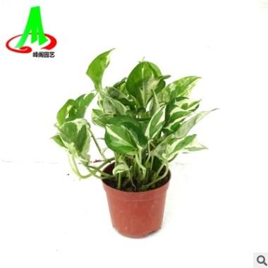 基地货源绿墙吸甲醛净化空气吊兰室内花卉盆栽植物 白金葛绿萝