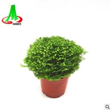 基地货源批发珊瑚蕨微景观搭配植物花卉盆景盆栽 绿地球