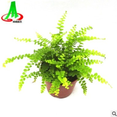 基地货源 批发 微景观 搭配室内小盆栽 蕨类 花卉植物 纽扣蕨