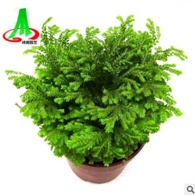 基地货源 批发 微景观 搭配植物 花卉 盆景盆栽 荧光珊瑚蕨