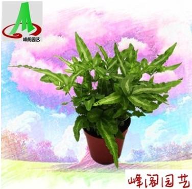 基地货源墙体绿化微景观搭配蕨类盆景花卉植物小盆栽 阿波线蕨
