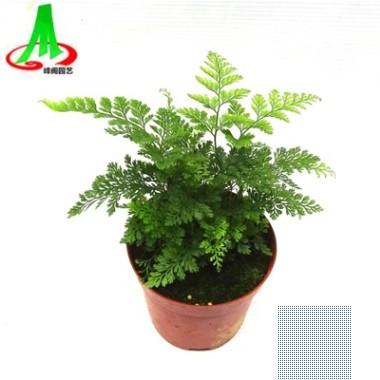 基地货源供应微景观搭配植物蕨类小盆景花卉植物 狼尾蕨