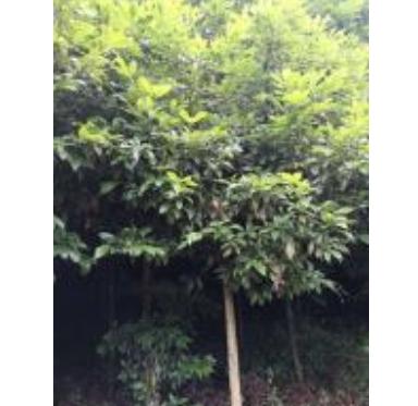 四川金丝楠木 雅安金丝楠木 规模种植 量大从优 低价